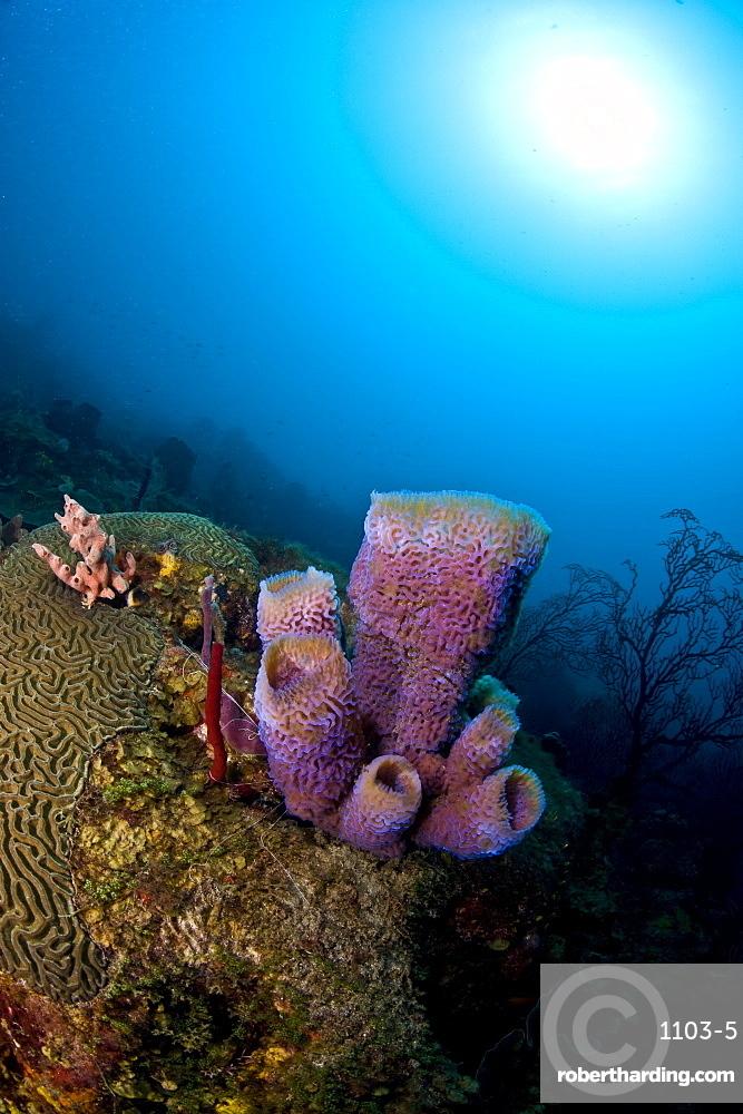 Azure Vase Sponge Callyspongia Plicifera Stock Photo