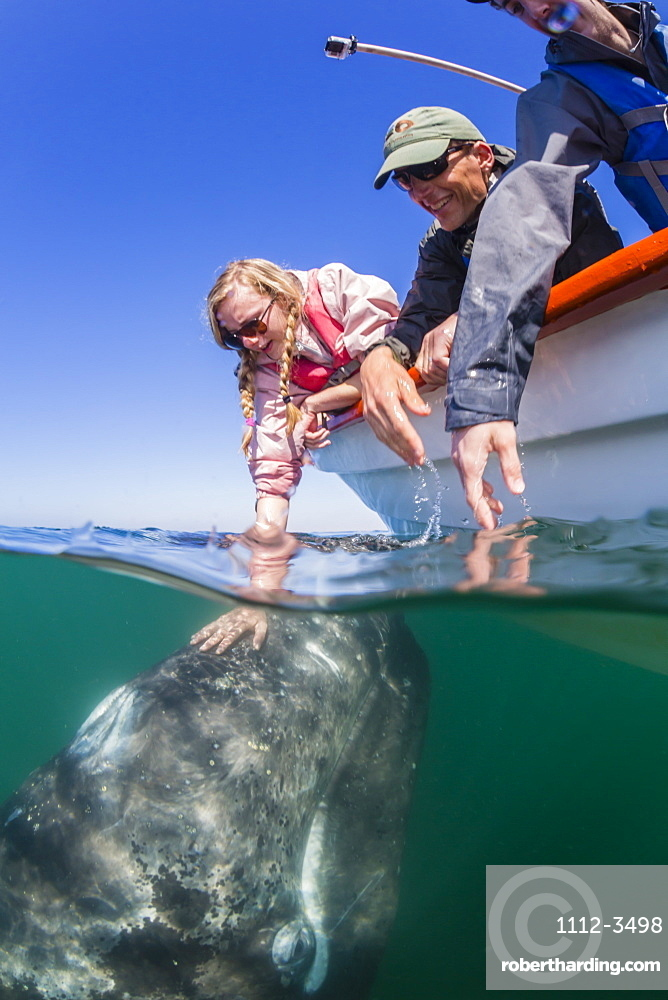 California gray whale calf (Eschrichtius robustus), underwater with tourists in San Ignacio Lagoon, Baja California Sur, Mexico, North America
