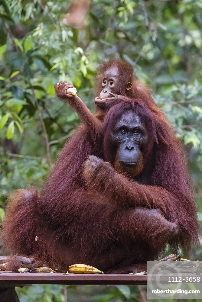 Mother and baby Bornean orangutan (Pongo pygmaeus) at Camp Leakey, Borneo, Indonesia, Southeast Asia, Asia
