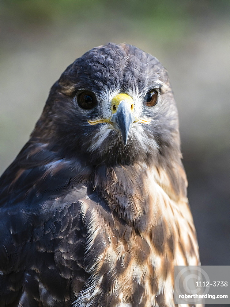 Adult red-tailed hawk (Buteo jamaicensis), near the Homosassa River, Florida, United States of America, North America