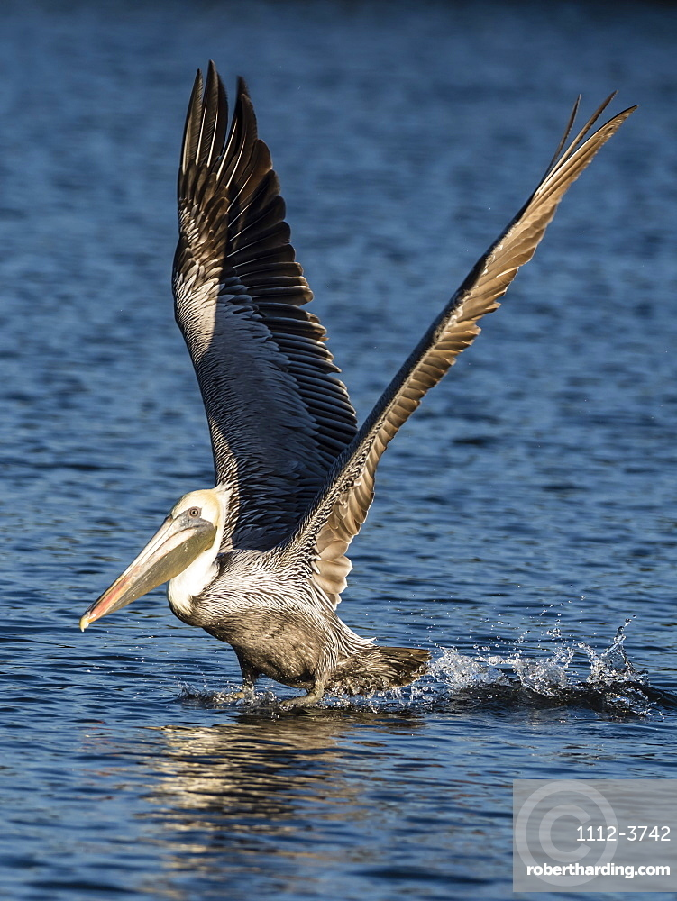 Adult brown pelican (Pelecanus occidentalis) taking flight on the Homosassa River, Florida, United States of America, North America