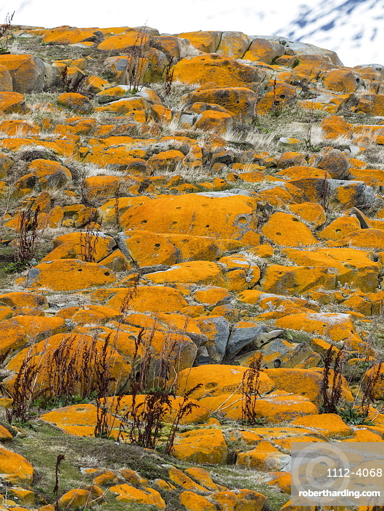 Elegant lichens covering the surface of a small islet in the Beagle Channel, Ushuaia, Argentina.