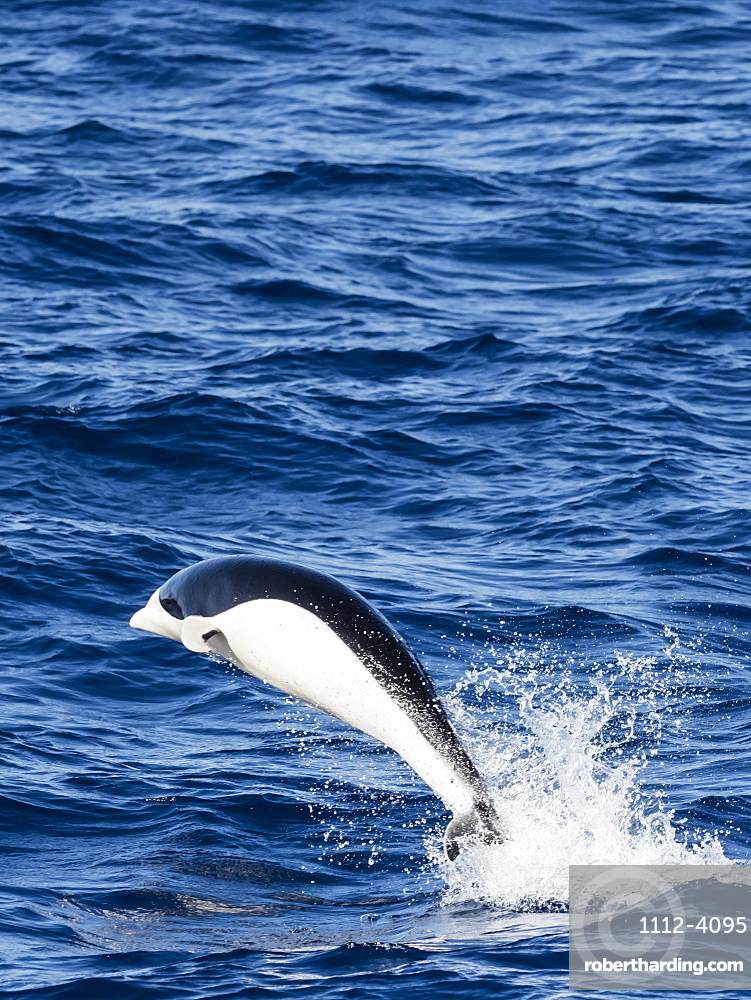 A adult Southern right whale dolphin, Lissodelphis peronii, traveling at high speed, Southern Atlantic Ocean.