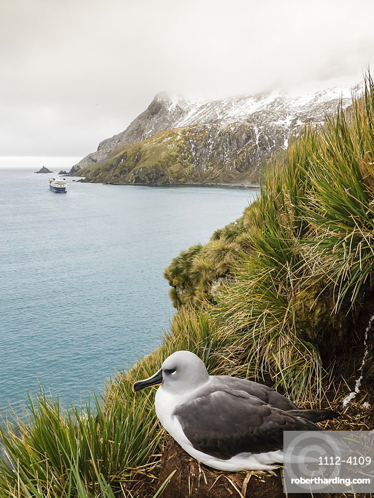 Adult grey-headed albatross, Thalassarche chrysostoma, on nest on tussac grass at Elsehul, South Georgia Island.