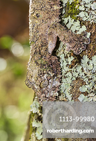 Mossy leaf-tailed gecko, camoflaged on the bark of a tree, Uroplatus sikorae, Andasibe, Madagascar, Africa, captive