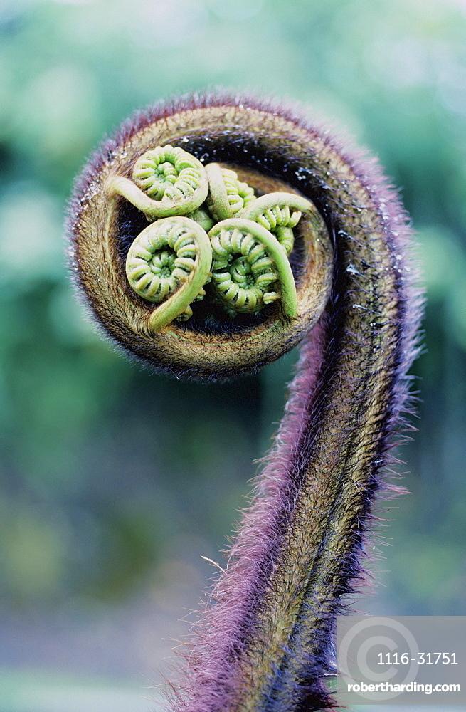 Hawaii, Big Island, Ama'u Fern (Sadleria Cyatheoides).