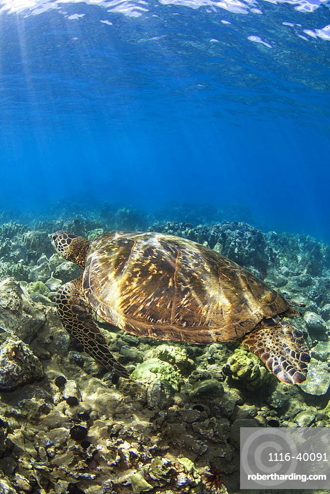 Hawaiian Green Sea Turtle (Chelonia mydas) named 'Honu';Makena, Maui, Hawaii, United States of America