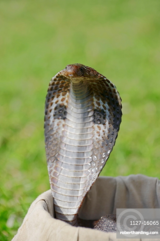 Spectacled Cobra in basket of | Stock Photo