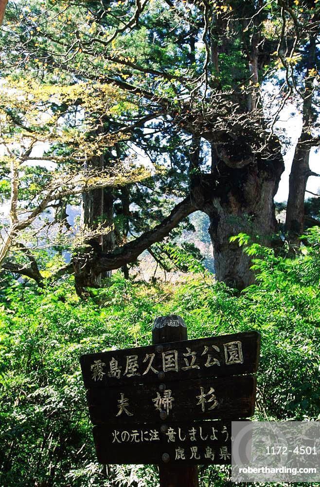 Yakushima Husband and Wife Cedar Tree, Yakushima, Kagoshima Prefecture
