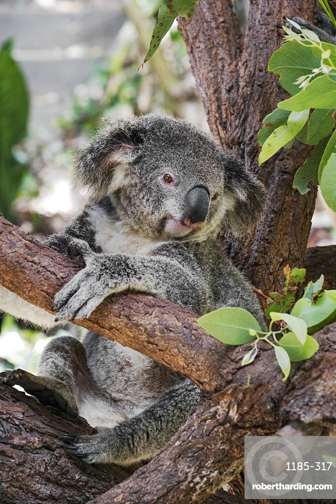 Koala (Phascularctos cinereus), captive, Australia, Pacific