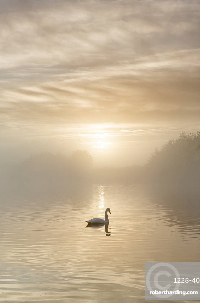 Swan on misty lake at sunrise, Clumber Park, Nottinghamshire, England, United Kingdom, Europe