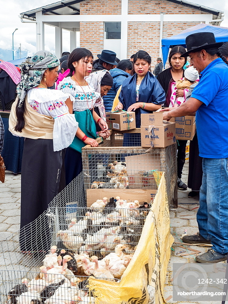 Women buying young chickens at the animal market, Otavalo, Ecuador, South America
