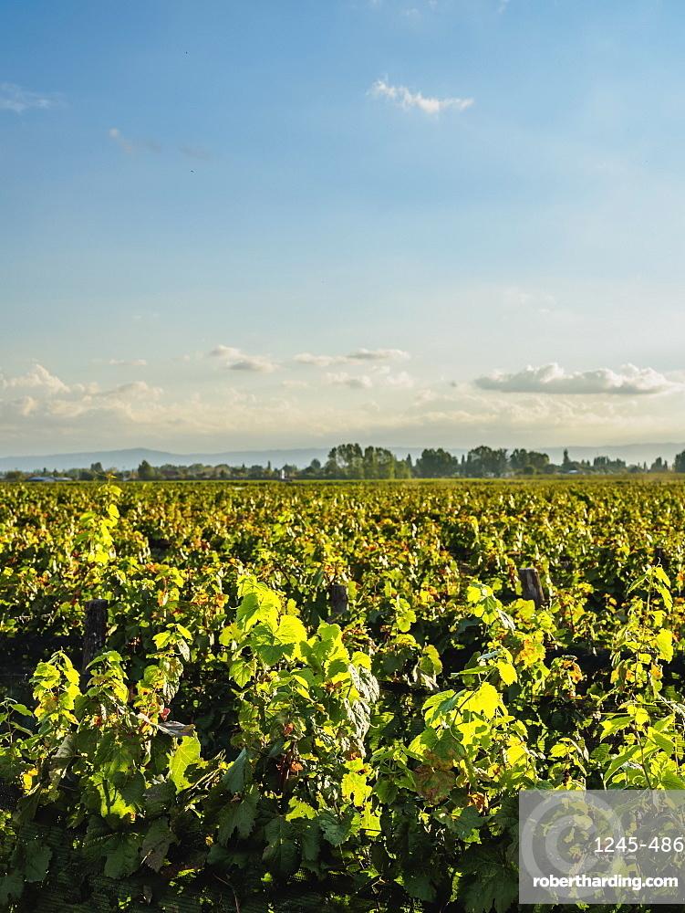 Vineyard of Bodega Viamonte, Lujan de Cuyo, Mendoza Province, Argentina, South America