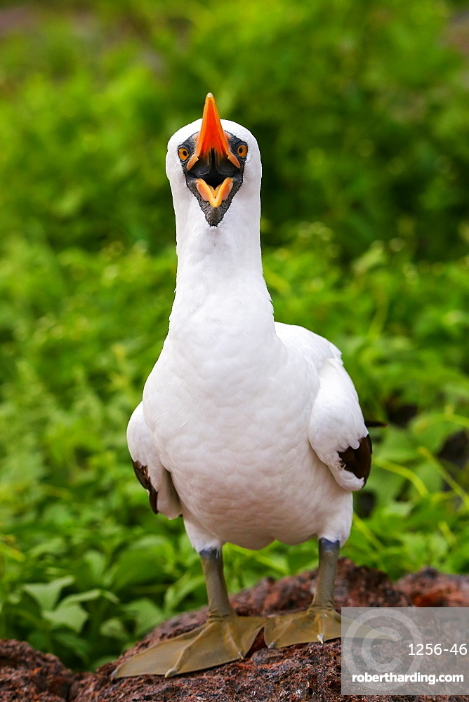 Nazca Booby (Sula granti) with open mouth, Genovesa Island, Galapagos National Park, Ecuador, South America