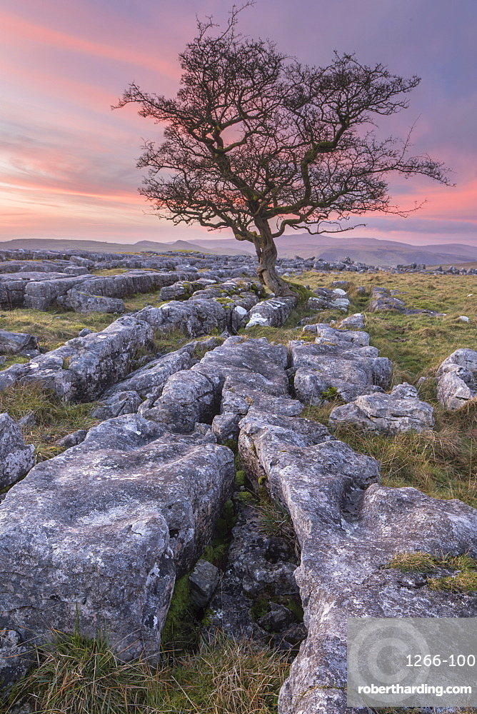 Limestone pavement and lone hawthorn tree at Winskill Stones nature reserve, Malhamdale, Yorkshire Dales, UK