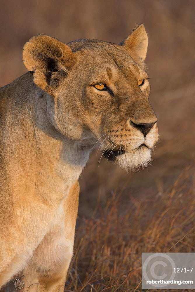 Lioness (Panthera Leo) of the Lemek pride in Lemek Conservancy, Masai Mara, Kenya, East Africa, Africa