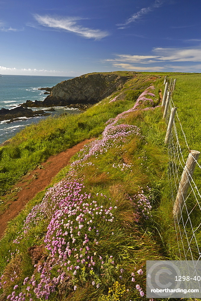 Thrift growing beside the Pembrokeshire coastal path near St. Justinian, Wales, United Kingdom, Europe
