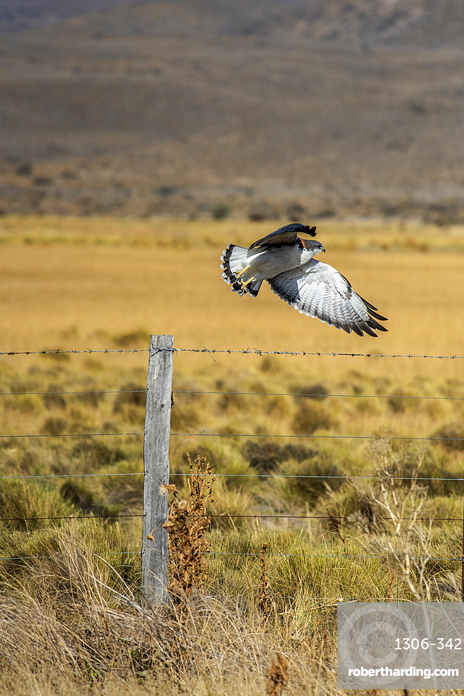 Red-backed Hawk or Variable Hawk in flight, Los Glaciares National Park, Santa Cruz Province, Patagonia