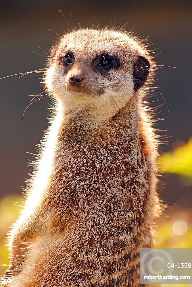 Meerkat (suricate) (Suricata suricatta), a small mammal belonging to the mongoose family, from the Kalahari Desert, Africa, in captivity in the United Kingdom, Europe