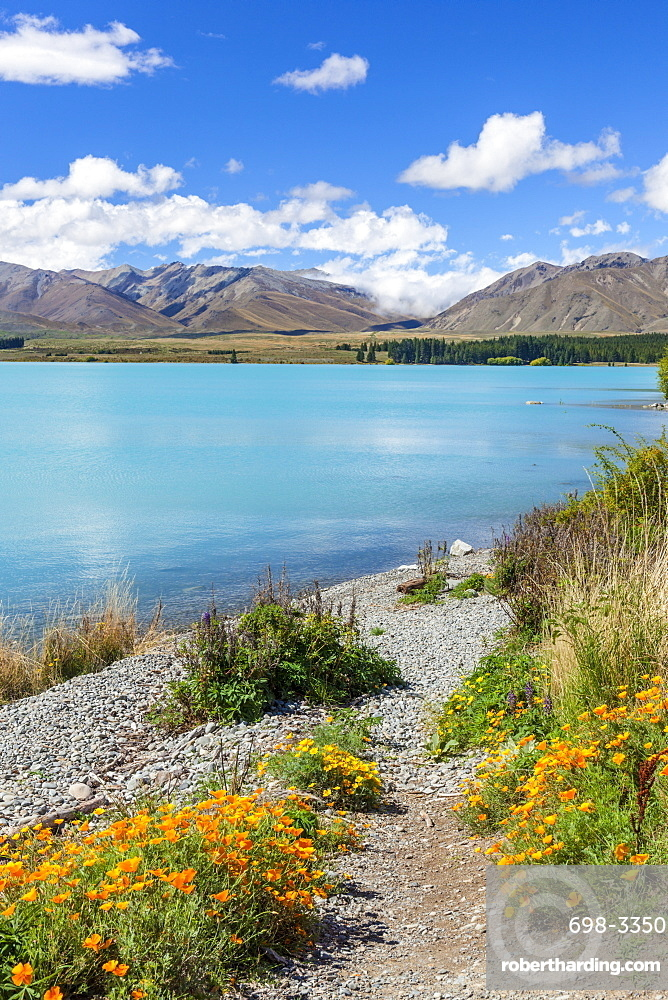 Yellow flowers by glacial Lake Tekapo, Mackenzie district, South Island, New Zealand, Pacific