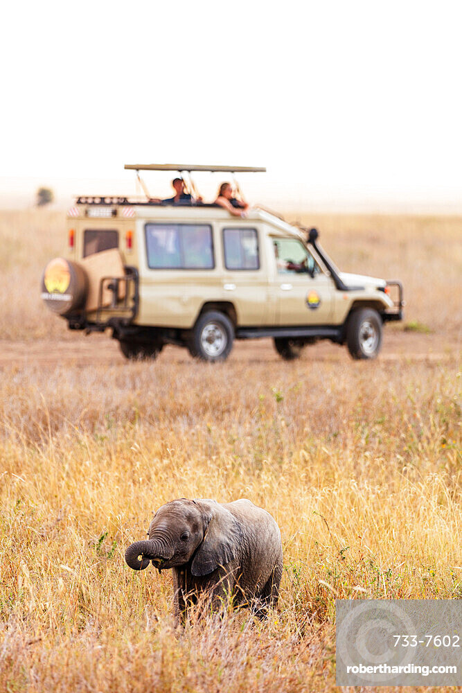 Tourists on game drive watching a baby African elephant (Loxodonta africana), Serengeti National Park, UNESCO World Heritage Site, Tanzania, East Africa, Africa