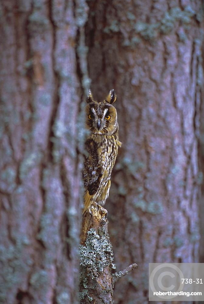 Long eared owl (Asio otus) in winter, Scotland, UK, Europe