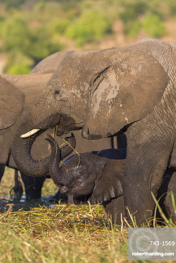 Elephant (Loxodonta africana) and calf, Chobe national park, Botswana, June 2017