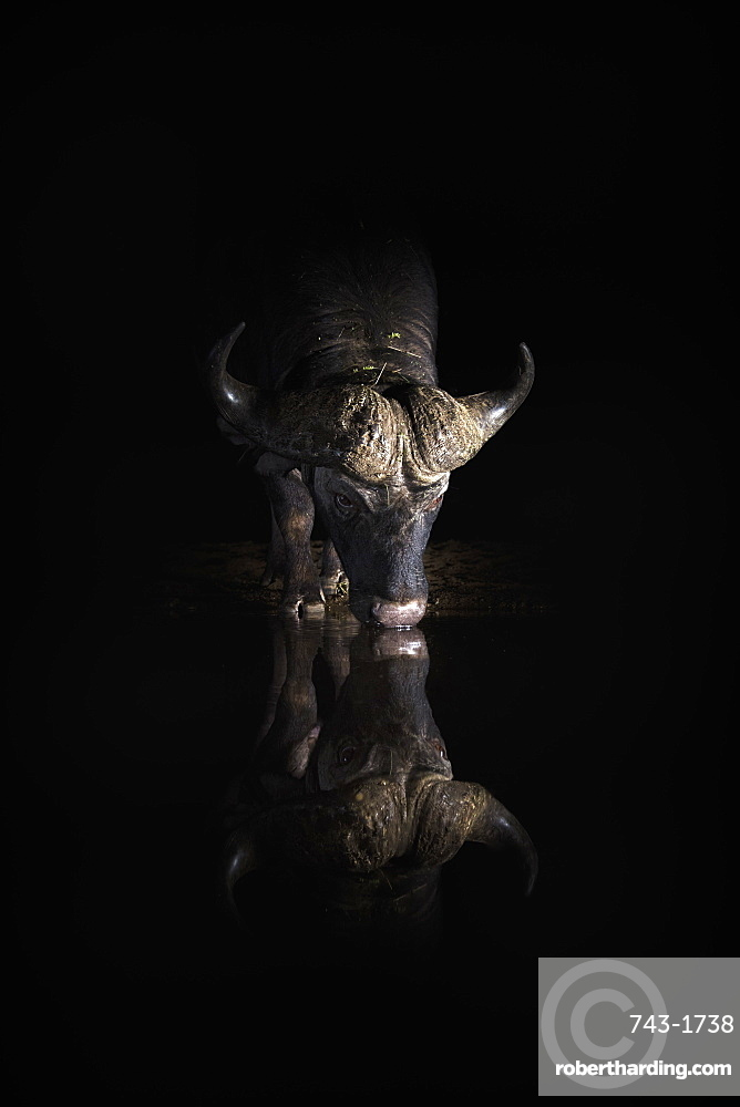 Cape buffalo, Syncerus caffer, drinking at night, Zimanga private game reserve, KwaZulu-Natal, South Africa
