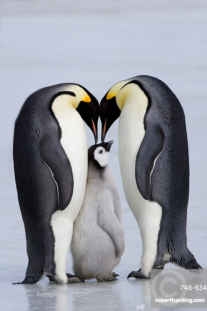 Emperor penguin chick and adulta (Aptenodytes forsteri), Snow Hill Island, Weddell Sea, Antarctica, Polar Regions *** Local Caption ***