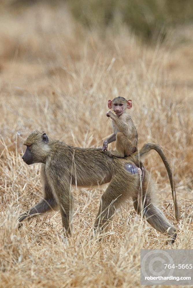 Young yellow baboon (Papio cynocephalus) riding on its mother, Ruaha National Park, Tanzania, East Africa, Africa
