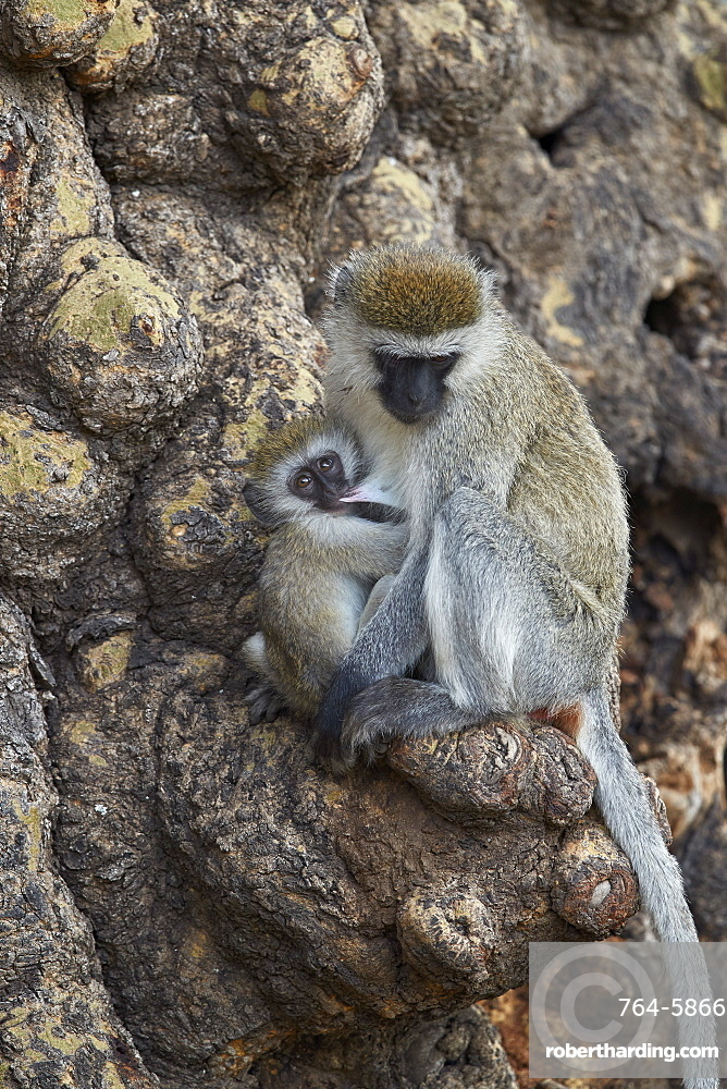 Vervet monkey (Chlorocebus aethiops) mother nursing her infant, Ngorongoro Crater, Tanzania, East Africa, Africa