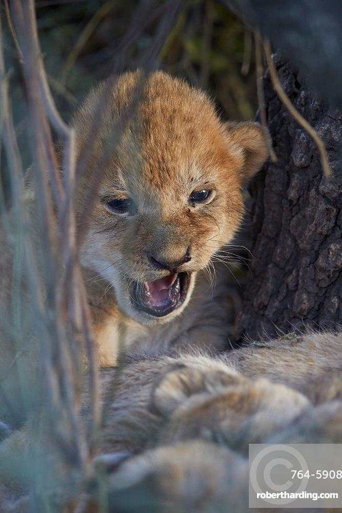 Lion (Panthera leo) cub, Ngorongoro Conservation Area, Tanzania, East Africa, Africa