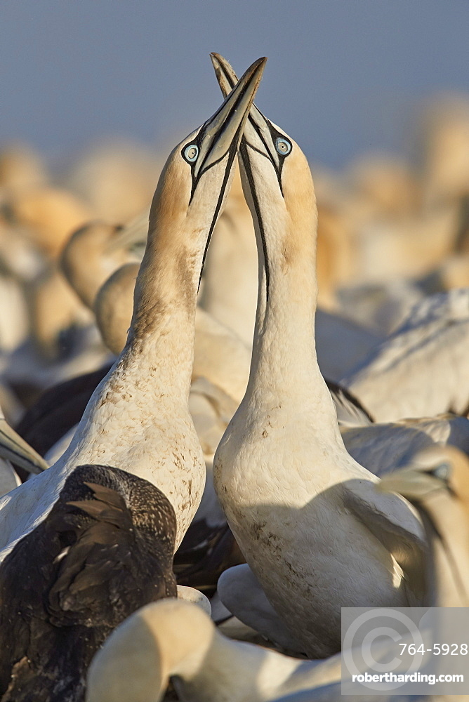 Cape Gannet (Morus capensis) pair necking as part of courtship, Bird Island, Lambert's Bay, South Africa, Africa