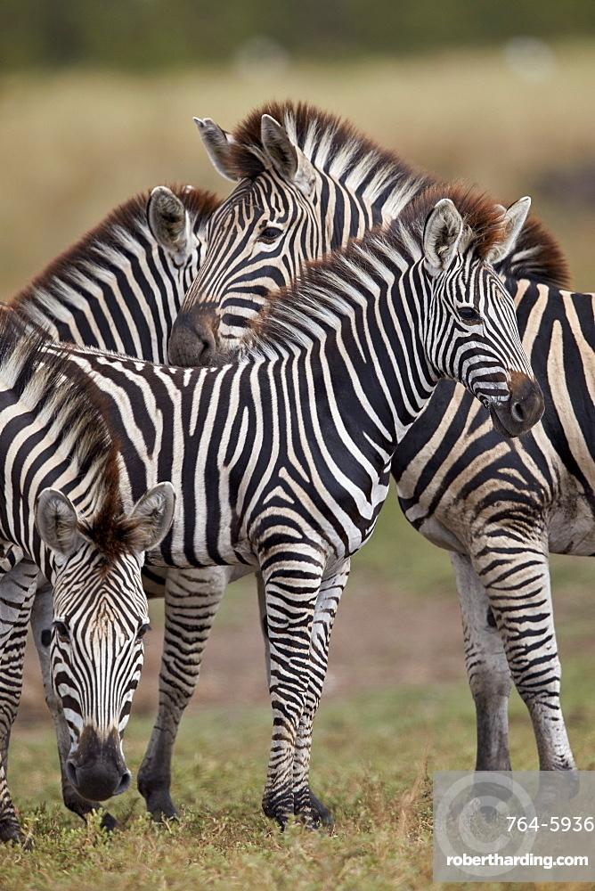 Chapman's Zebra (Plains Zebra) (Equus quagga chapmani), Kruger National Park, South Africa, Africa