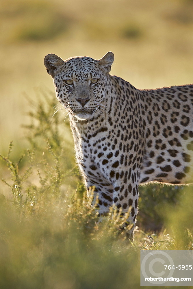 Leopard (Panthera pardus), male, Kgalagadi Transfrontier Park, South Africa, Africa