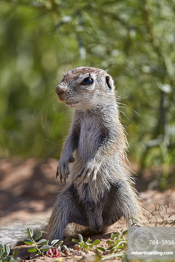 Cape ground squirrel (Xerus inauris), juvenile, Kgalagadi Transfrontier Park, South Africa, Africa