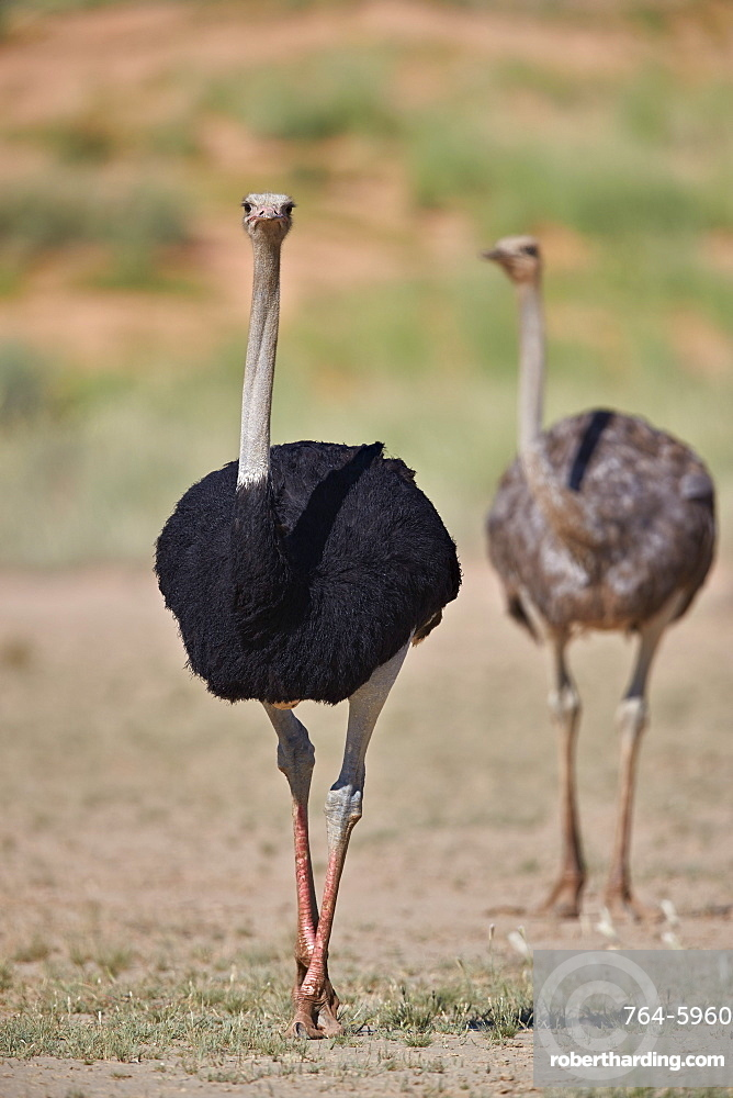 Common ostrich (Struthio camelus), male in breeding plumage with female, Kgalagadi Transfrontier Park, South Africa, Africa