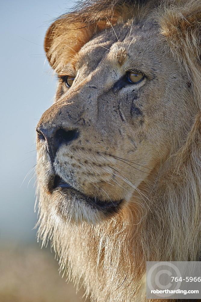 Lion (Panthera leo), Kgalagadi Transfrontier Park, South Africa