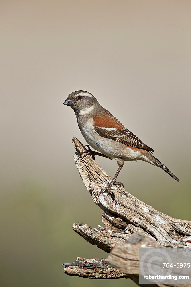 Great sparrow (Passer motitensis), female, Kgalagadi Transfrontier Park, South Africa, Africa