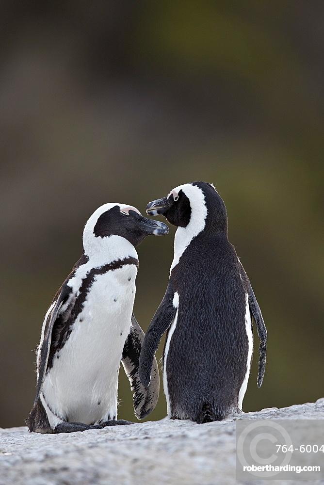 African Penguin (Spheniscus demersus) pair, Simon's Town, South Africa