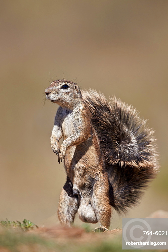 Cape Ground Squirrel (Xerus inauris), male, Mountain Zebra National Park, South Africa, Africa