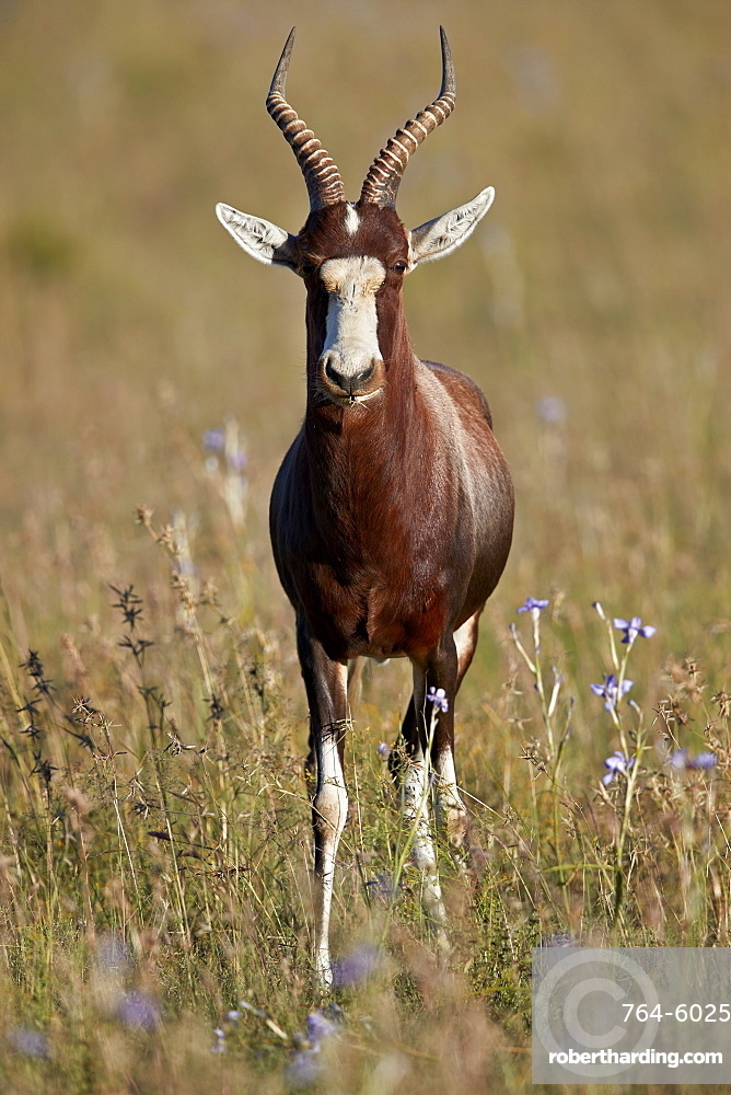 Blesbok (Damaliscus pygargus phillipsi), male, Mountain Zebra National Park, South Africa