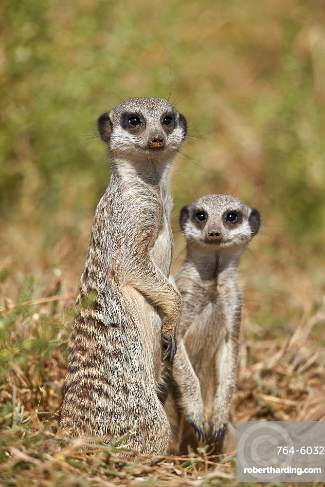 Two Meerkat (Suricate) (Suricata suricatta), Mountain Zebra National Park, South Africa, Africa