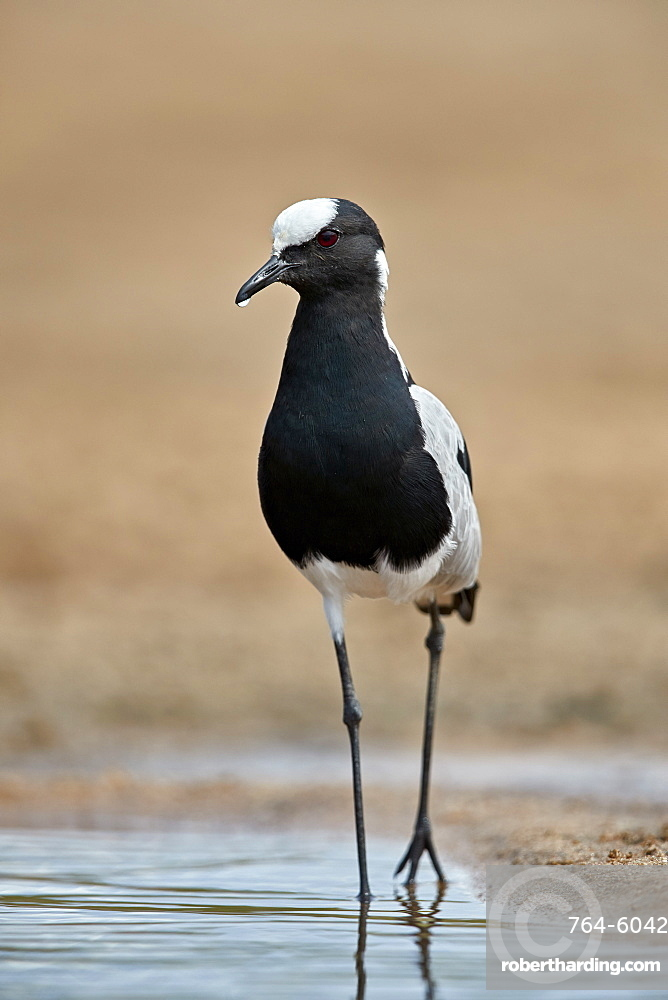 Blacksmith Lapwing (Blacksmith Plover) (Vanellus armatus), Kruger National Park, South Africa, Africa