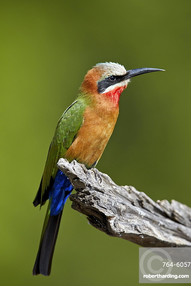 White-fronted Bee-eater (Merops bullockoides), Kruger National Park, South Africa, Africa