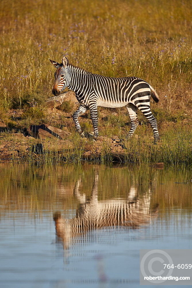 Cape Mountain Zebra (Equus zebra zebra) with reflection, Mountain Zebra National Park, South Africa, Africa