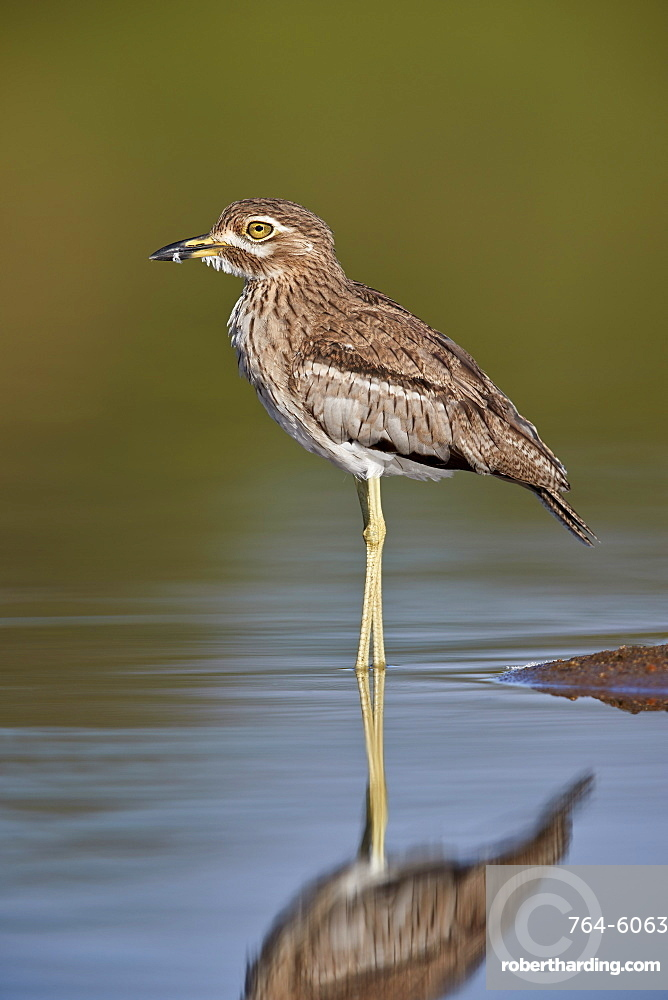 Water Thickknee (Water Dikkop) (Burhinus vermiculatus), Kruger National Park, South Africa, Africa