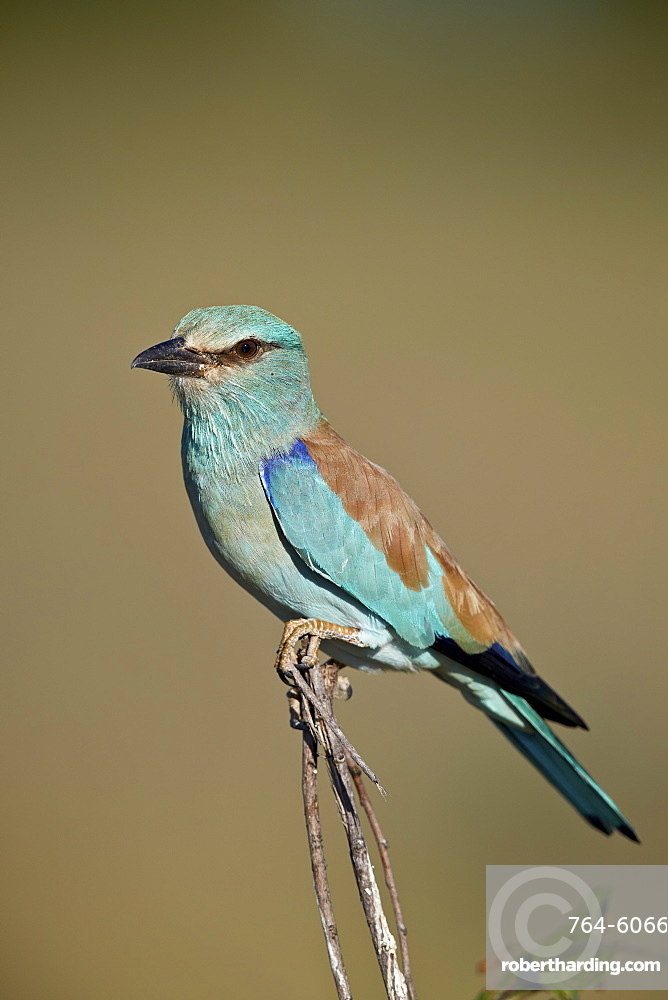 European Roller (Coracias garrulus), Kruger National Park, South Africa, Africa