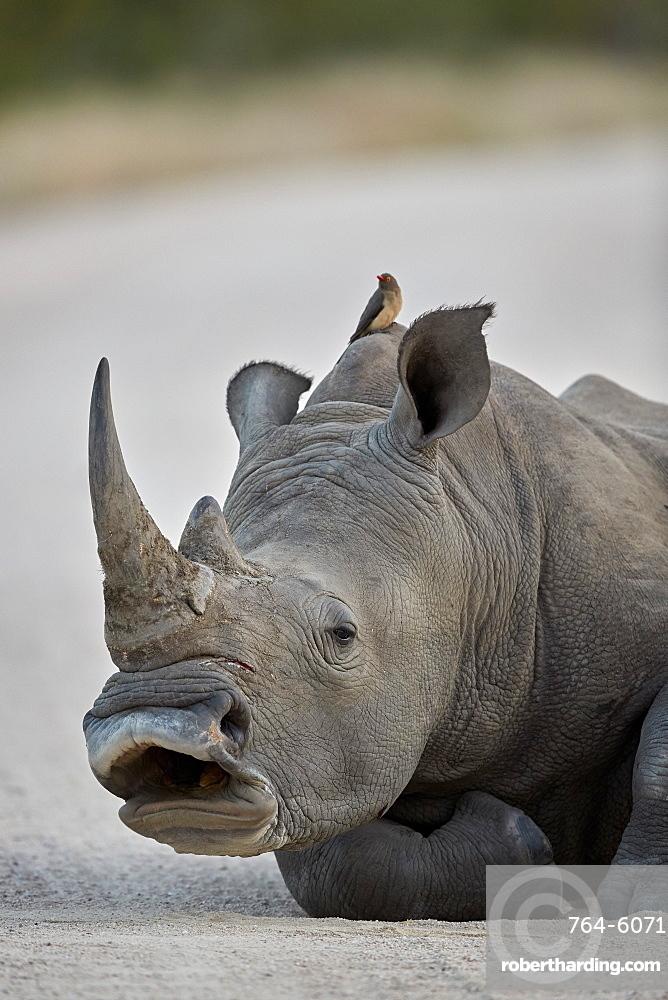 White Rhinoceros (Ceratotherium simum) yawning, Kruger National Park, South Africa, Africa