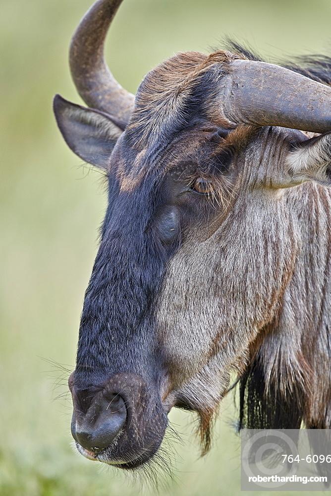 Blue Wildebeest (Brindled Gnu) (Connochaetes taurinus), Kruger National Park, South Africa, Africa